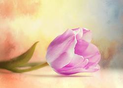 A single violet tulip surrenders unto the surrounding temperate vibrancy.