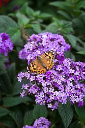 Painted Lady butterfly (Vanessa cardui) on Heliotropium arborescens 'Marine'. Heliotrope