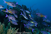 creole wrasses, Clepticus parrae, being attended by juvenile bluehead wrasses, Thalassoma bifasciatum, at cleaning station, Glover's Reef, Belize, Central America  ( Caribbean Sea )