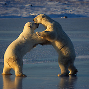 Polar bears playing on frozen Hudson Bay, Canada.