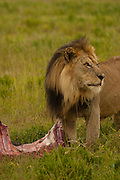 Male lion feeding on a zebra