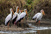 Flock of yellow-billed stroks (Mycteria ibis) at a water hole in Maasai Mara, Kenya.