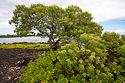 Beach Heliotrope tree, Ka'ala'alu Bay South Point, The Big Island of Hawaii