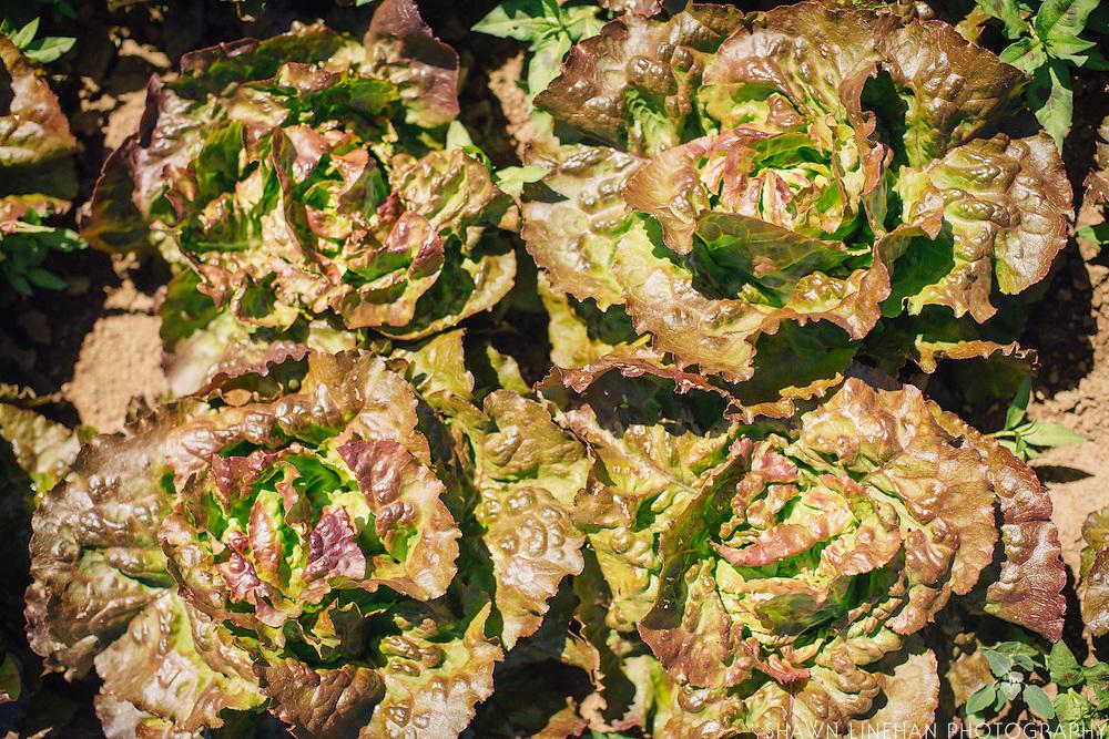 Garmona Lettuce from Frank Morton of Wild Garden Seed