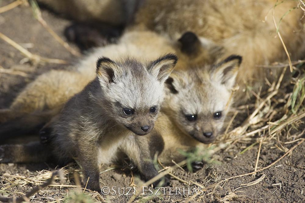 Bat-eared fox<br /> Otocyon megalotis<br /> 5 week old pup(s)<br /> Masai Mara Reserve, Kenya
