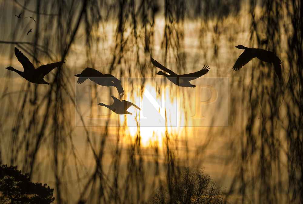 © Licensed to London News Pictures. 11/02/2021. London, UK. Geese take flight at down, viewed through the branches of a willow tree, over a freezing Bushy park in south west London. Overnight temperatures reached -5C in parts of the south east. Photo credit: Peter Macdiarmid/LNP