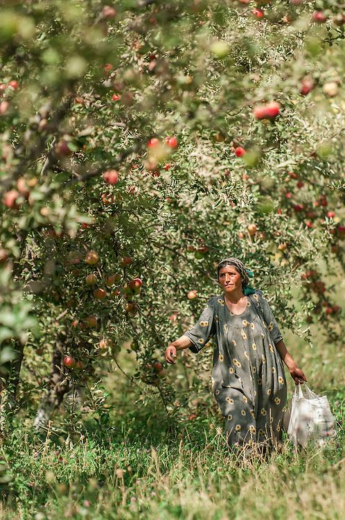 Portrait of a Tajik woman harvesting apples in her orchard in western Tajikistan