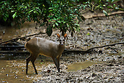 Gray Brocket Deer (Mazama gouazoubira) Female at saltlick<br /> Tiputini Biodiversity Station, Adjacent to  Yasuni National Park, Amazon Rainforest<br /> ECUADOR. South America<br /> HABITAT & RANGE: Forests of South America from northern Argentina to Colombia and the Guianas. Also Trinidad. Extinct from Tobago.