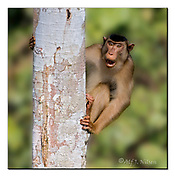 Male of southern pig-tailed macaque from Sabah, Borneo. Nikon D4, 200-400mm @ 400mm, f5, 1/2500sec, ISO800, Aperture priority