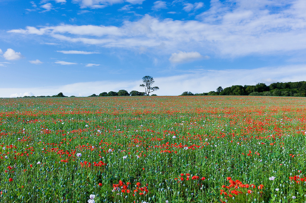 Poppies and other wildflowers in a crop meadow at Fonthill Gifford  in Wiltshire, UK