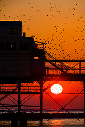 November 21, 2018 - Aberystwyth, Wales, UK - Aberystwyth, UK. As the sun sets gloriously over Cardigan Bay on a crystal clear but bitterly cold evening, tens  of thousands of starlings fill every possible surface as they prepare to roost for the night on the forest  of cast iron legs underneath  Aberystwyth's Victorian seaside pier. Aberystwyth is one of the few urban roosts in the country and draws people from all over the UK to witness the spectacular nightly displays. (Credit Image: © Keith Morris/London News Pictures via ZUMA Wire)