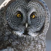 Great Gray Owl (Strix nebulosa) adult. Canada