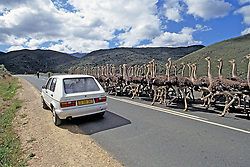 Car Trying To Pass Ostriches On Road
