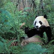 Giant Panda, (Ailuropoda melanoleuca) Feeding on bamboo. Wolong Natural Reserve. Sichuan, China. Captive Animal.