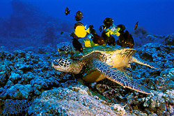 green sea turtle, Chelonia mydas, being cleaned by yellow tang, Zebrasoma flavescens, convict tang, Acanthurus triostegus, and gold-ring surgeonfish, Ctenochaetus strigosus, (endemic to Hawaii), Kona, Big Island, Hawaii, Pacific Ocean