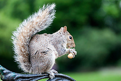 Squirrel eating at Hyde Park, London, England, UK