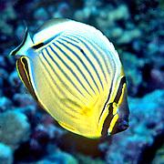 Redfin Butterflyfish inhabit reefs. Picture taken Vanuatu.