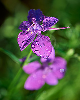 Larkspur. Image taken with a Nikon D810A camera and 105 mm f/2.8 macro  VR lens