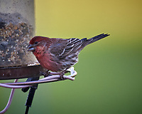Male House Finch. Image taken with a Nikon D5 camera and 600 mm f/4 VR lens (ISO 1600, 600 mm, f/5.6, 1/500 sec)