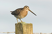 Snipe, Gallinago gallinago, adult on fence post, North Uist, Outer Hebrides, Western Isles, Scotland, UK.<br /> bird, birds, wader, waders, sin<br /> watching,<br /> bird, birds, wader, waders, single, wetland, stone wall,<br /> watching,