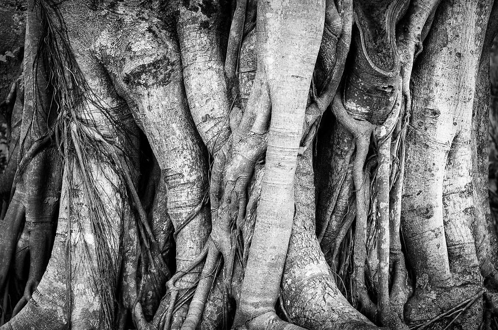 Giant Banyan tree, Japanese Liliu'okalan Gardens, near Hilo, Hawaii.
