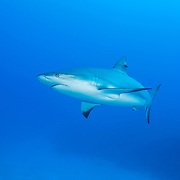 Caribbean reef shark (Carcharhinus perezi), Jardines de la Reina, Gardens of the Queen National Park, Cuba