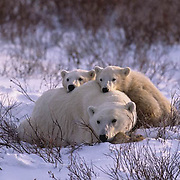 Polar Bear, (Ursus maritimus)  Mother and cub resting in willows. Cape Churchill, Manitoba. Canada.