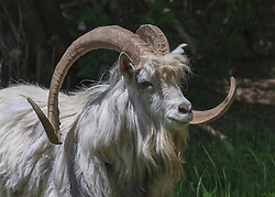 April 17, 2018 - Hami, Hami, China - Hami, CHINA-17th April 2018: Argali sheep in Hami, northwest China's Xinjiang. The argali, or the mountain sheep (species Ovis ammon) is a wild sheep that roams the highlands of Central Asia. (Credit Image: © SIPA Asia via ZUMA Wire)