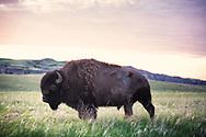 A bison on the Badlands of South Dakota