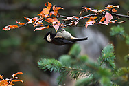 Rufous-vented tit (Periparus rubidiventris), Baixha Valley, Tibetan Plateau, Qinghai, China