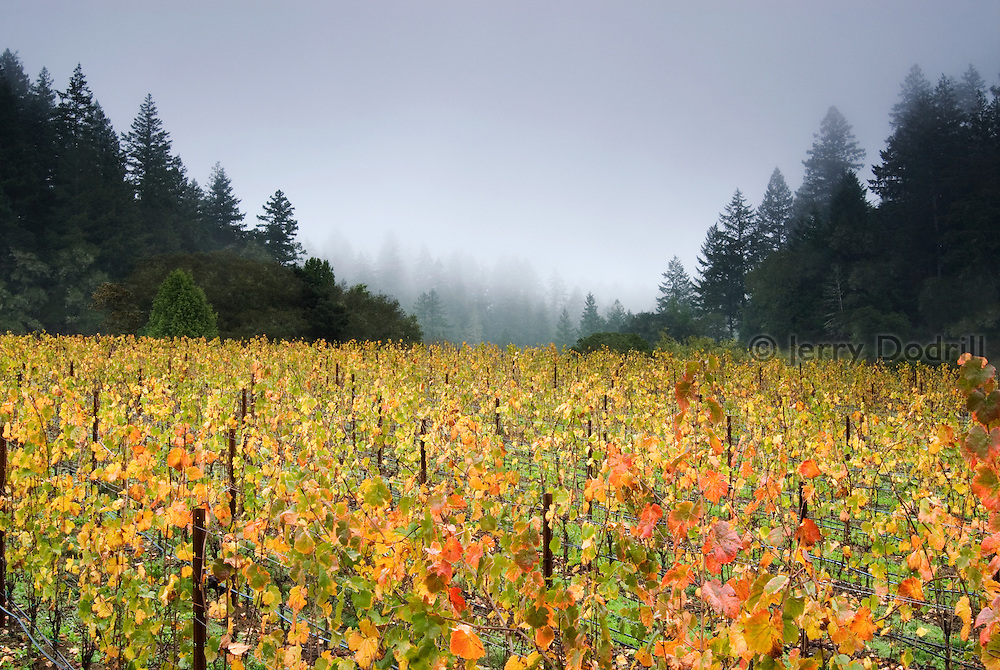 Red Car Wine's La Boheme Vineyard, located in the Sonoma Coast Appellation in Northern California. The cool coastal weather influence here is perfect for growing Pinot Noir wine grapes. The mornings are often cool and foggy while afternoon temperatures are warm but not too hot.