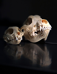 13 March 2012. New Orleans, Louisiana USA. .Lakeview Veterinary Hospital Inc. Cat and dog skulls. .Photo Credit; Charlie Varley