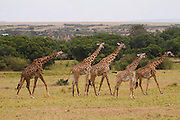 A herd of Masai Giraffe (Giraffa camelopardalis tippelskirchi) also known as the Maasai Giraffe or Kilimanjaro Giraffe, is the largest subspecies of giraffe and the tallest land mammal. It is found in Kenya and Tanzania. Photographed in Serengeti National Park Tanzania