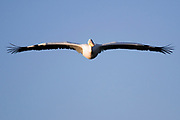White Pelican, Pelecanus onocrotalus in flight with a blue sky background. Photographed in Israel, Maagan Michael Fish ponds, in October