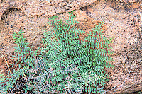 This delicate little pteridophyte desert fern was found growing from the shade under a massive pile of boulders in the Chihuahuan Desert at the far eastern limit of its range near the Texas-Chihuahua border just south of El Paso in the Quitman Mountains. It is most often found on cliffs and shady overhangs throughout most of the American Southwest and Northern Mexico.
