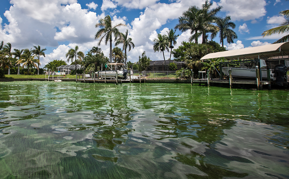 Toxic Blue Green Algae in Cape Coral. Florida. fish kill, fishkill, Florida, red tide, blue green algae, water crisis, environmental crisis, south west Florida, gulf coast, algae, toxic algae, Canal in Cape Coral, Florida contaminated with cyanobacteria, known as blue green allege.
