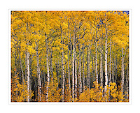 Aspen grove in autumn Kananaskis Country Alberta Canada
