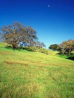 Carmel Valley Oak Trees