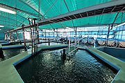 Israel, Coastal Plains, Kibbutz Maagan Michael, Indoor, controlled environment pools for nurturing the fish in the first phase before moving them to the larger outdoor Fishery