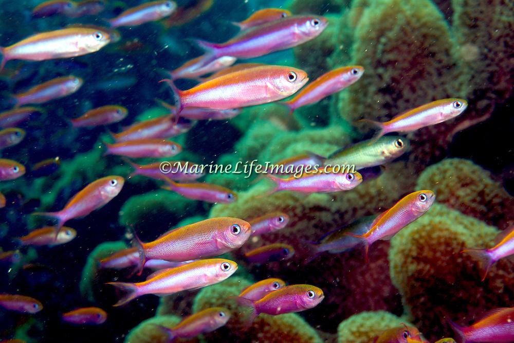 Magenta Slender Anthis inhabit reefs, often in large schools. Picture taken Fiji.