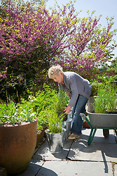 Carol Klein placing pot grown Miscanthus sinensis 'Flamingo' into galvanised buckets on the terrace