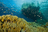 Corals cover the bottom beneath a limestone outcrop island in the Raja Ampat Islands, Indonesia.  Wrasses and damselfish hover over the reef.