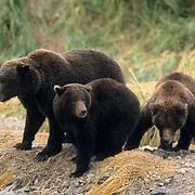 Alaskan Brown Bear, (Ursus middendorffi)  Mother on shore with cubs. Katmai National Park. Alaska.