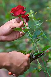 Poda em botão de rosa. FOTO: Jefferson Bernardes/Preview.com