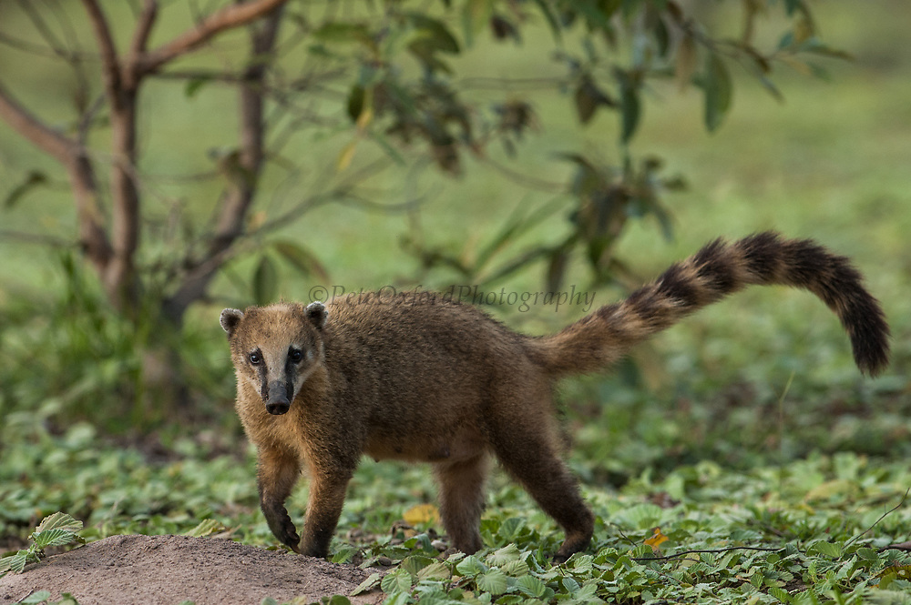 South American or Ringtailed Coati (Nasua nasua)<br /> PHOTOGRAPHED IN: Central Pantanal. Largest contiguous wetland system in the world. Mato Grosso do Sul Province. BRAZIL.  South America. RANGE: Tropical lowlands, dry high-altitude forests, oak forests, mesquite frassland and on the edge of forests in Southern North America, Central and South America.<br /> These animals are omniverous feeding on fruit and invertebrates. They usually live in family bands, made up of females and young. Males tend to be solitary. They live about 7 - 10 years.