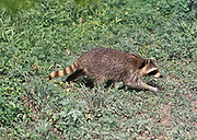 Raccoon (Procyon lotor) - Florida