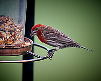 Male House Finch with a Sunflower Seed. Image taken with a Nikon D4 camera and 600 mm f/4 VR telephoto lens.