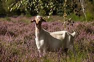 goat for open land management eating birch leaves in the flowering Wahner Heath, Troisdorf, North Rhine-Westphalia, Germany.<br /> <br /> Ziege zur Offenlandpflege fressen Birkenblaetter in der bluehenden Wahner Heide, Troisdorf, Nordrhein-Westfalen, Deutschland.