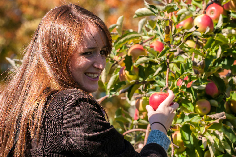 A woman picks apples in the orchards at Beak & Skiff Apple Orchard in Lafayette, NY on Saturday, October 15, 2016. Copyright 2016 Jason Barnette