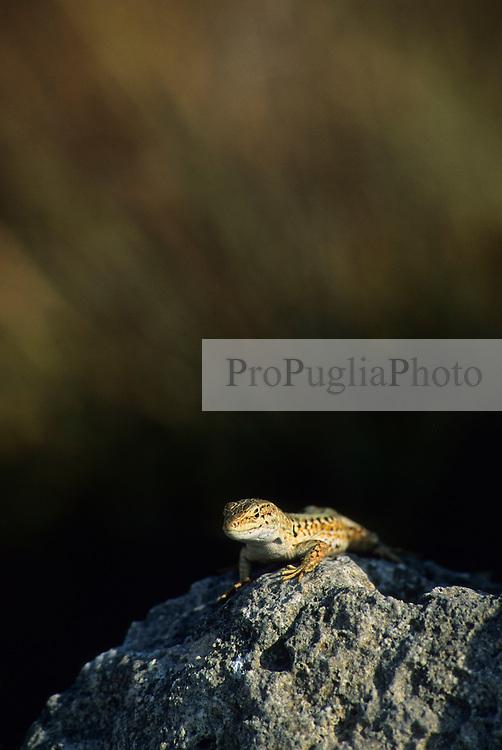 Lizard (Podarcis sicula) near Otranto